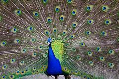 Peacock (Jonathan.Russell) Tags:
