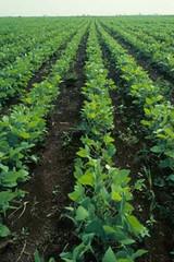 Soybean plants in soybean field