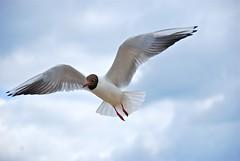 Mven fliegen- Seagull flying - Radtour 2011 - 0884 (Fitz_Carraldo) Tags: sea sky cloud bird beach strand flying sand seagull himmel wolken poland baltic ostsee usedom fliegen mven