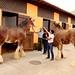 Lindos e enormes cavalos da raça Clydesdale