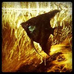 Pez de Fuego (blackferien) Tags: mxico square mexico agua p hefe ciudaddemxico chilangolandia iphoneography pecesacuariopecera