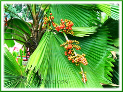 Red berry-like fruits of Licuala grandis (Vanuatu Fan Palm, Ruffled Fan Palm, Palas Payung)