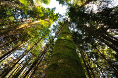 Looking Up (Gabriel Tompkins) Tags: trees sky usa sunlight green forest washington moss flora nikon sigma whidbeyisland pacificnorthwest 1020mm washingtonstate 1020 pnw converginglines 2011 temperaterainforest d90 sigma1020mmf456exdc nikond90 tronam gabrieltompkins