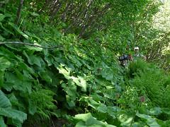 Végétation dense entre le col de Basmont et le col de l'Arc 031
