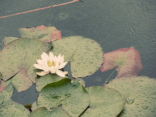 rainy day lilypad