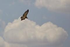 Vautour Fauve (jmcgsxr) Tags: aragon espagne jmcgsxr vautours ef14x ef30028l percnoptre eos1dmkiv