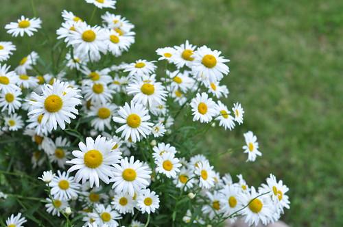 karikakrad/daisies