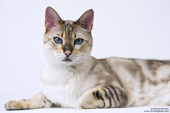 Bokeh (Bob Stronck) Tags: pets exotic felines marbled housecat snowleopard purebred bengalcat seallynxpoint ©rmstronck stronckphotocom