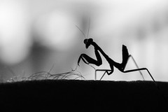 Praying Mantis - Lawn mower (TeryKats) Tags: summer macro green leaves silhouette canon bug hair insect lens eos leaf backyard hand close bokeh small praying leg lawn young cyprus kit mower 1855 matis mantice lefteris 600d paralimni katsouromallis terykats