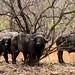 Bufalos africanos