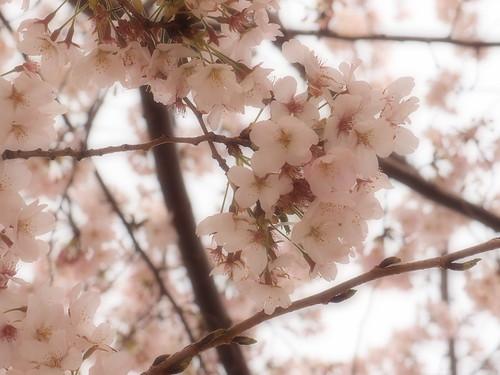 桜 2011 田園調布