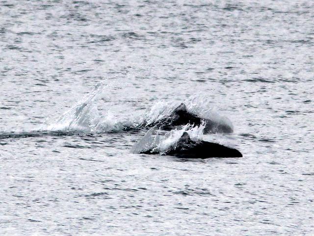 Dall's porpoises 20110625
