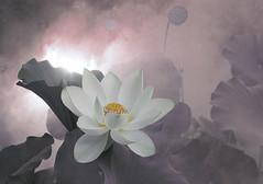 Lotus Flower - IMG_0393-3 (Bahman Farzad) Tags: flower macro yoga peace lotus relaxing peaceful meditation therapy lotusflower lotuspetal lotuspetals lotusflowerpetals lotusflowerpetal