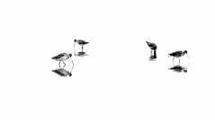 Curlews (Kaptain Kobold) Tags: blackandwhite lake reflection water birds contrast explore nsw newsouthwales waders myfave lakeillawarra hss curlews kaptainkobold yourfave i500