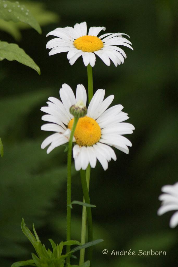 Ox-eyed Daisy (Leucanthemum vulgare)-3.jpg