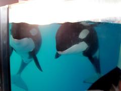 IMG_4926 (dolphingirl0609) Tags: world sea camp san texas dolphin lion seal killer whale orca beluga antonio advanced career