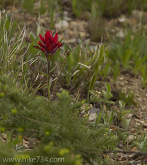 "Indian Paintbrush • <a style=""font-size:0.8em;"" href=""http://www.flickr.com/photos/63501323@N07/5979366275/"" target=""_blank"">View on Flickr</a>"