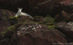"""Mountain Goat • <a style=""""font-size:0.8em;"""" href=""""http://www.flickr.com/photos/63501323@N07/5982783814/"""" target=""""_blank"""">View on Flickr</a>"""