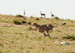 Cheetah- The chase is on_X1736 (Ken McChesney) Tags: africa animals kenya wildlife july safari mara masai cheeta masaimara 2011