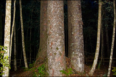 The Waipoua Forest, the Four Sisters Kauri trees