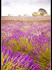 Lavender is for lovers true ~ HCS (pixellesley) Tags: flowers trees sky texture nature stone wall clouds lavender fields motat fantasticnature tqp tatot canon5dmk2 magicunicornverybest virgilio~gf