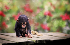 Mommy ... I'm bored! (jinterwas) Tags: baby concentration young bored free boredom cc creativecommons lonely youngster eenzaam verveling verveeld chimpansee concentratie freetouse