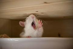 Knpfchen (Diana Lange) Tags: pet rodent rat ratte canoneos400d canonefs1855mm3556