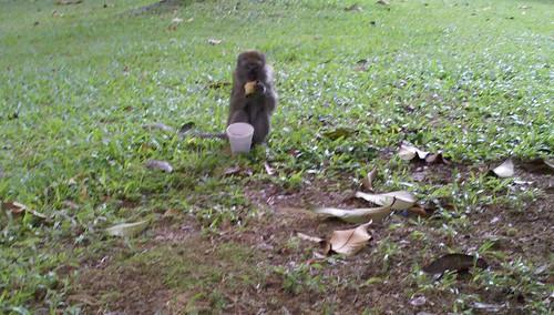 Choa Chua Kang macaque