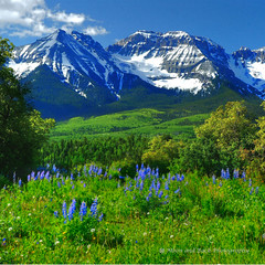 High Atop a Mountain (Aspenbreeze) Tags: flowers trees summer snow mountains rural colorado bluesky dirtroad backroad lupine countryroad mountainpeaks ouraycolorado colorphotoaward sneffelsrange saariysqualitypictures coth5 aspenbreeze aboveandbeyondlevel4 aboveandbeyondlevel1 flickrstruereflection1 flickrstruereflection2 aboveandbeyondlevel2 aboveandbeyondlevel3