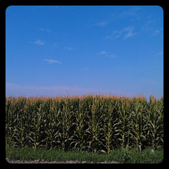 Children of the..... (snapgirl tc) Tags: cornfields blueskies agriculture ipodphoto