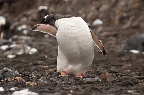 Penguin Preening by phoenixfeather