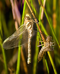 Emergence (GaryHowells) Tags: dragonfly exuviae commonhawker evccbughunt
