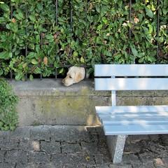 Heckenhund / Hedge Dog (bartholmy) Tags: dog fence bench bank hund hedge zaun emptyseat montreux hecke mäuerchen leerebank keinhundeknochenpflaster