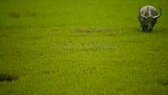 errr...Got Milk???...(while backing off really slowly) (Syahrel Azha Hashim) Tags: green field buffalo nikon village windy negativespace rainy malaysia handheld kedah padifield eatinggrass langkawiisland d300s syahrel