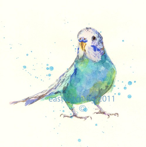 bird budgie (COPYRIGHT