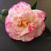 Margaret Davis : camellia japonica