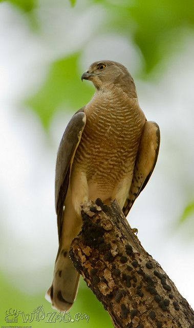 On a dull evening at Kanha, the Shikra waits for an opportunity!