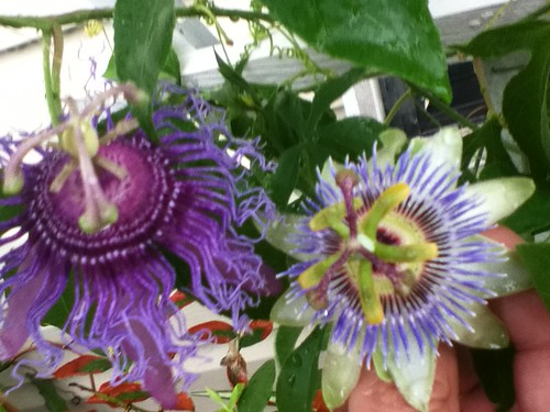 some of my passiflora - Page 2 6020135468_10b958fe12