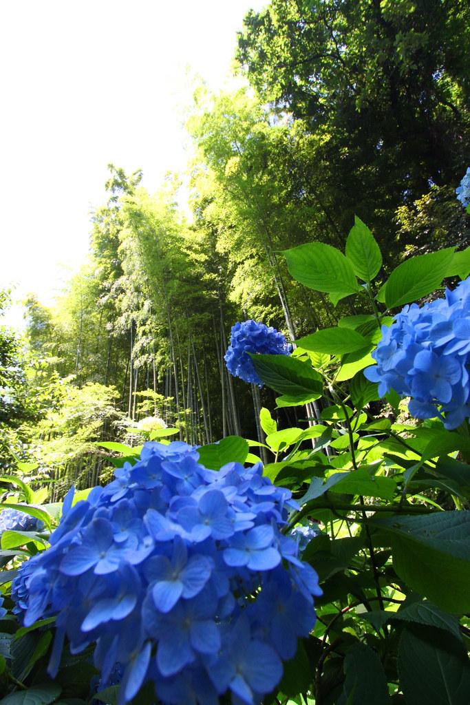 Kita Kamakura Hydrangea spot (2)
