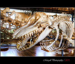 Oceanographic Museum - Monaco - HDR (Margall photography) Tags: museum skeleton photography montecarlo monaco marco bone hdr preistoric oceanographic galletto margall