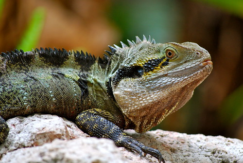 Water Dragon 1