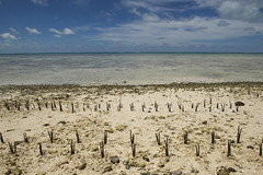 Climate Change Effects in Island Nation of Kiribati (United Nations Photo) Tags: travel island nikon pacific mangrove unitednations environment climatechange kiribati tides unphoto atoll tarawa bankimoon worldphotography