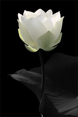 Explored - White Lotus Flower in Black & White:   IMG_0037 (Bahman Farzad) Tags: blackandwhite bw flower macro lotus lotusflower lotuspetal flowersadminfave lotuspetals mimamorflowers lotusflowerpetals lotusflowerpetal
