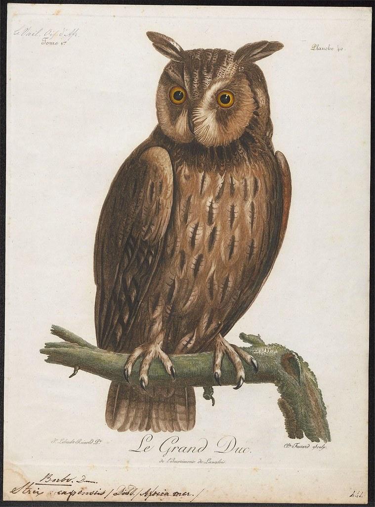 Bubo capensis