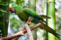 Animal Kingdom - Military Macaw