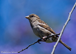 Sparrow on Lovely Bokeh