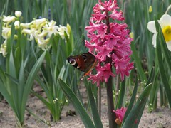 Thrust to the beautiful (halina.reshetova) Tags: flowers nature plants pink butterflies spring hennysgardens