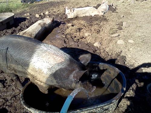 pig drinking