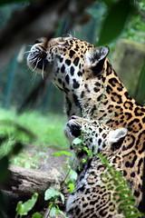 Jaguar - dotted neck (marfis75) Tags: eye animal zoo leo creative commons cc leopard creativecommons beast katze jaguar predator katzen tier panzer zootier panthera raubkatze raubtiere brllen ccbysa marfis75 groskatze gebrllt marfis75onflickr