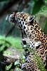 Jaguar - dotted neck (marfis75) Tags: eye animal zoo leo creative commons cc leopard creativecommons beast katze jaguar predator katzen tier panzer zootier panthera raubkatze raubtiere brüllen ccbysa marfis75 groskatze gebrüllt marfis75onflickr